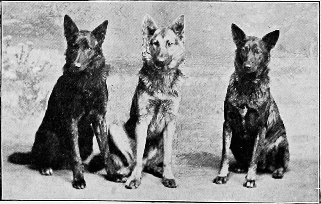 german shepherd history: Facts, Origin, Breed History evolution