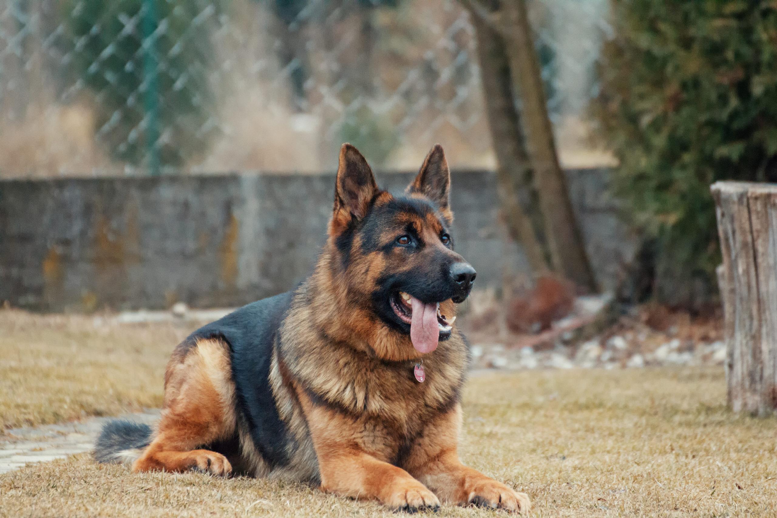 10 traits of purebred original german shepherd