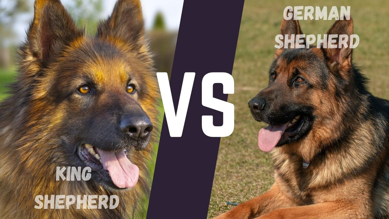 King shepherd vs German Shepherd: Size comparison ...