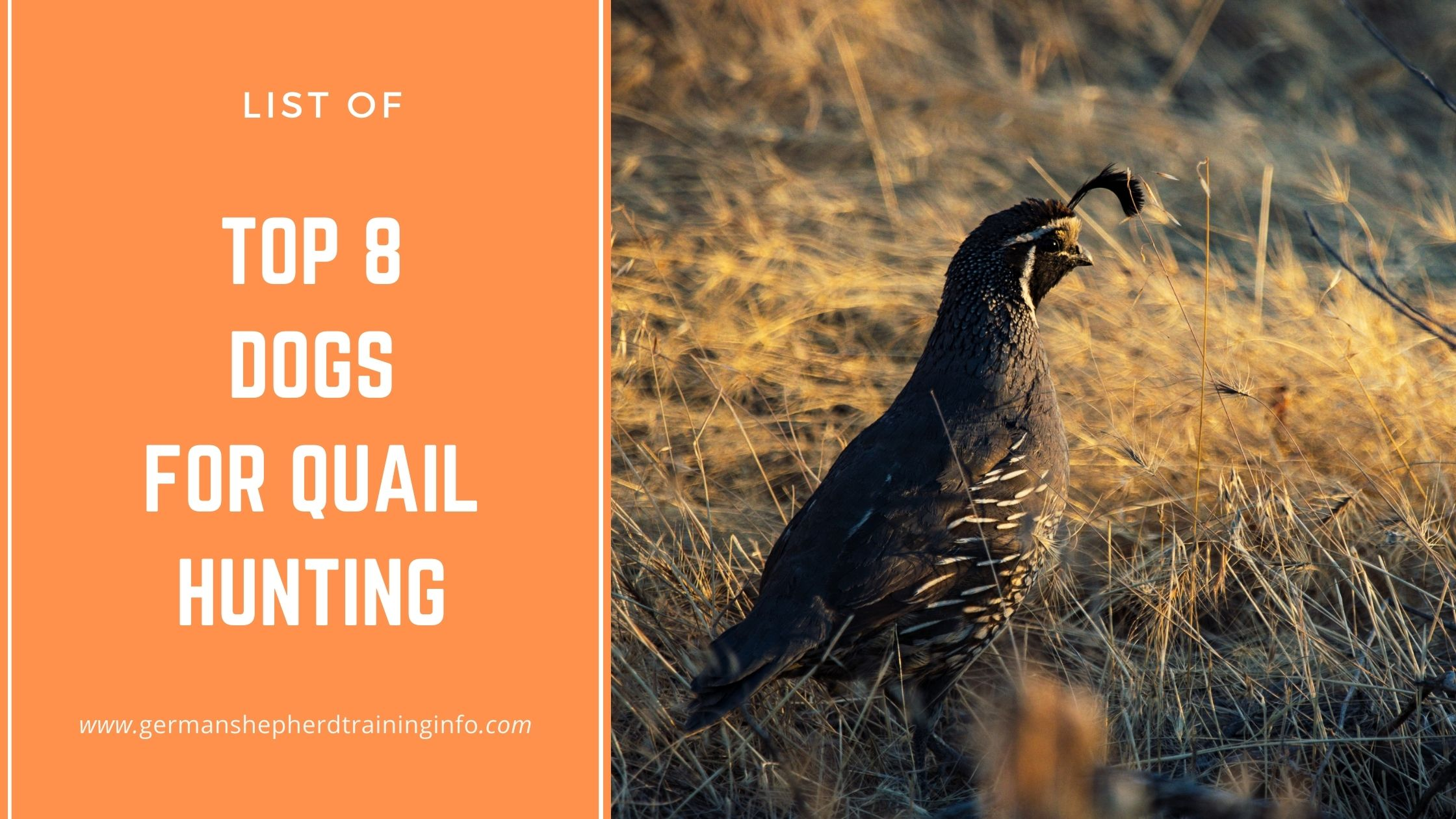 Top 8 Dogs for Quail Hunting