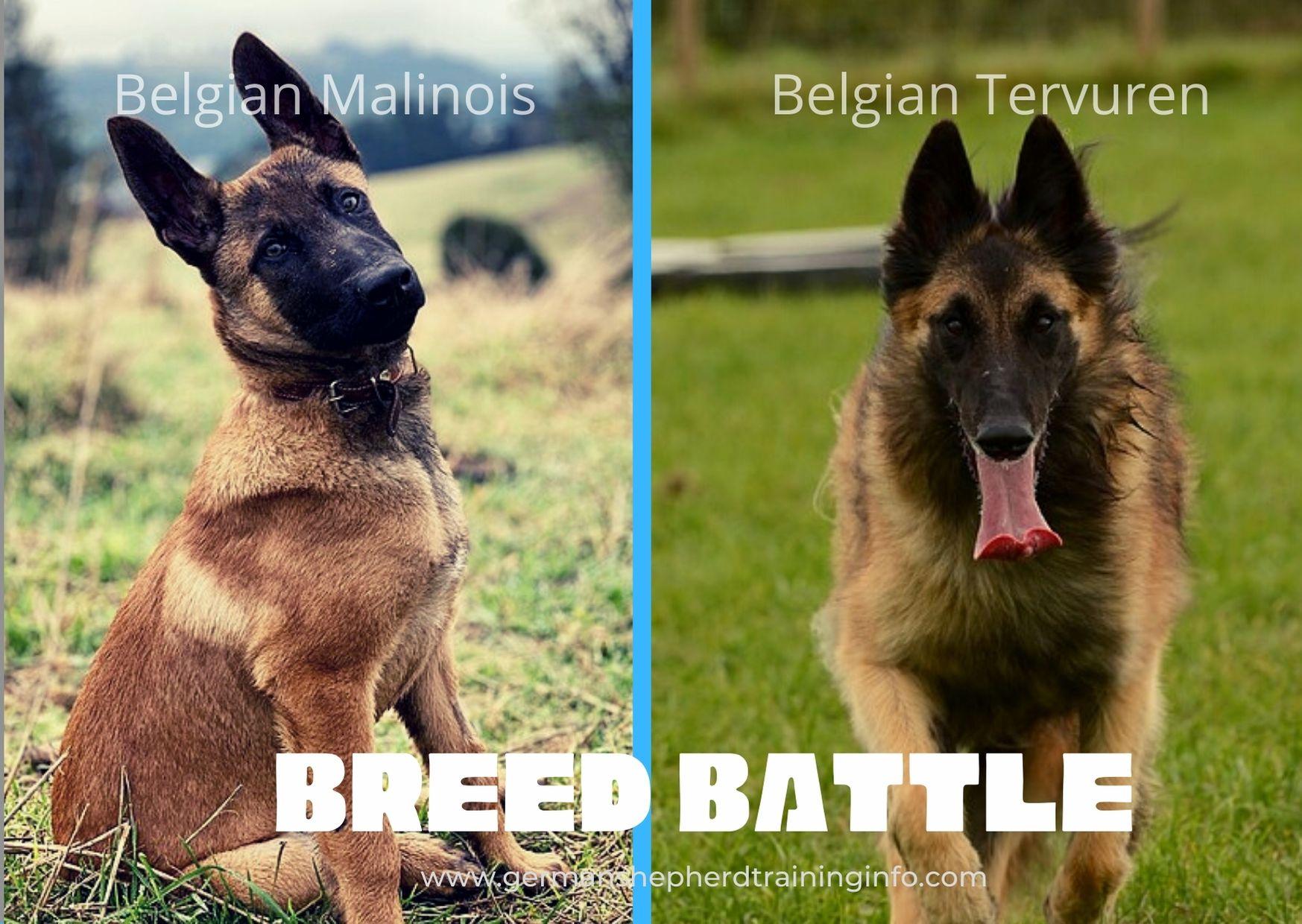 Belgian Malinois vs Belgian Tervuren: Size, Coat, Energy, Health Comparison Guide