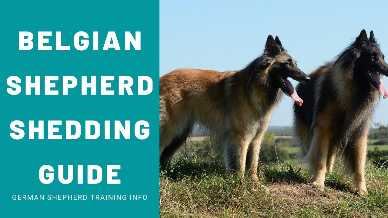 Belgian Shepherd Shedding Guide: How to get perfect coat
