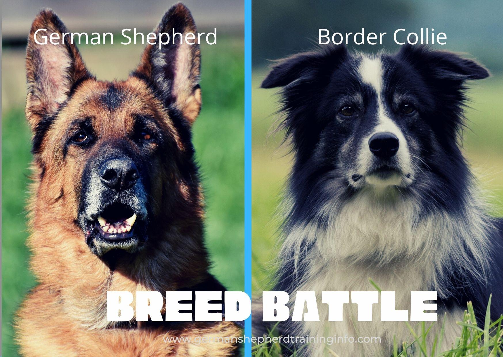 German Shepherd Vs Border Collie: Size, Coat, Temperament, Health Comparison Guide