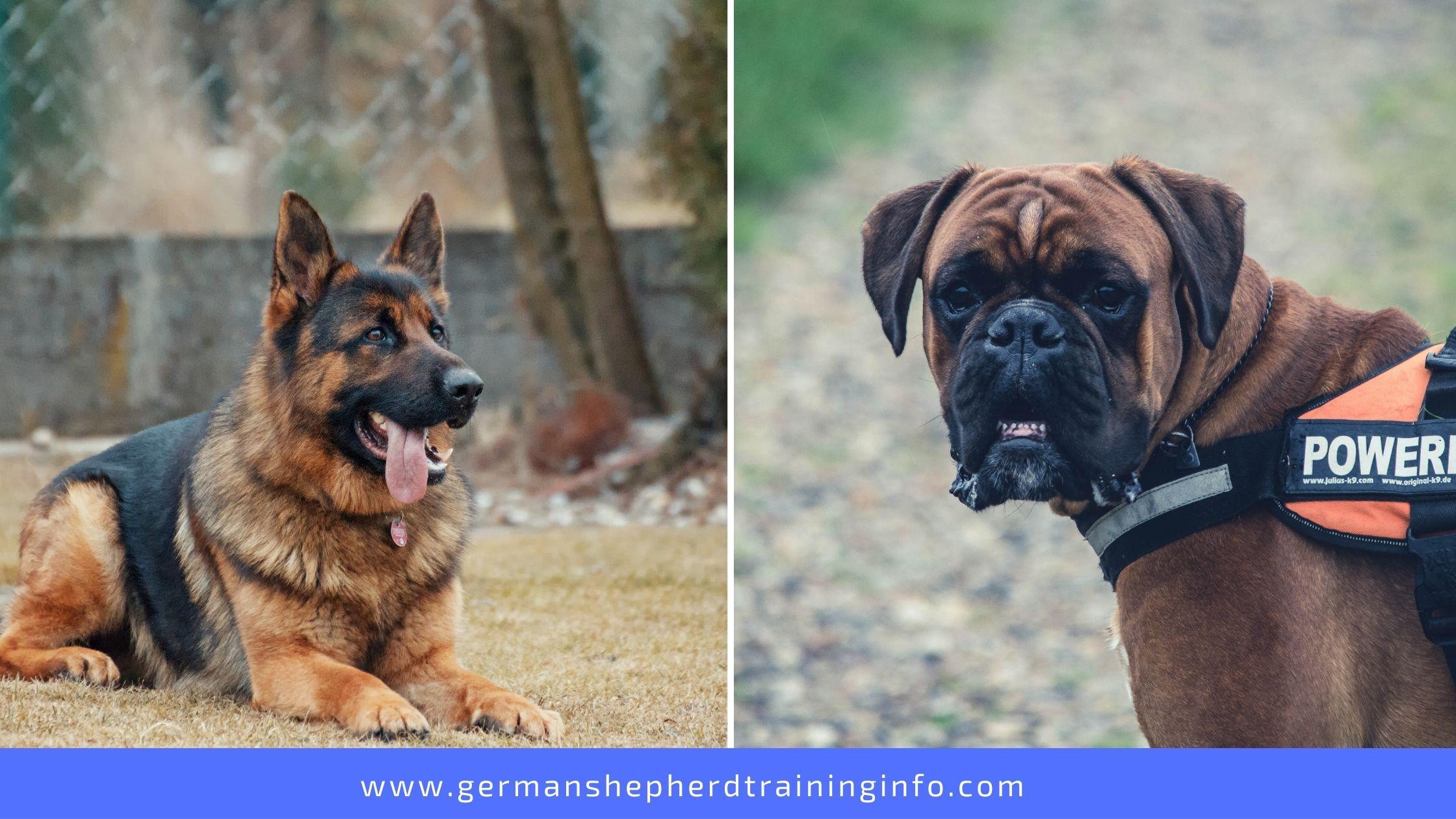 german shepherd vs boxer: size, appearance, health, strength, temperament breed comparison
