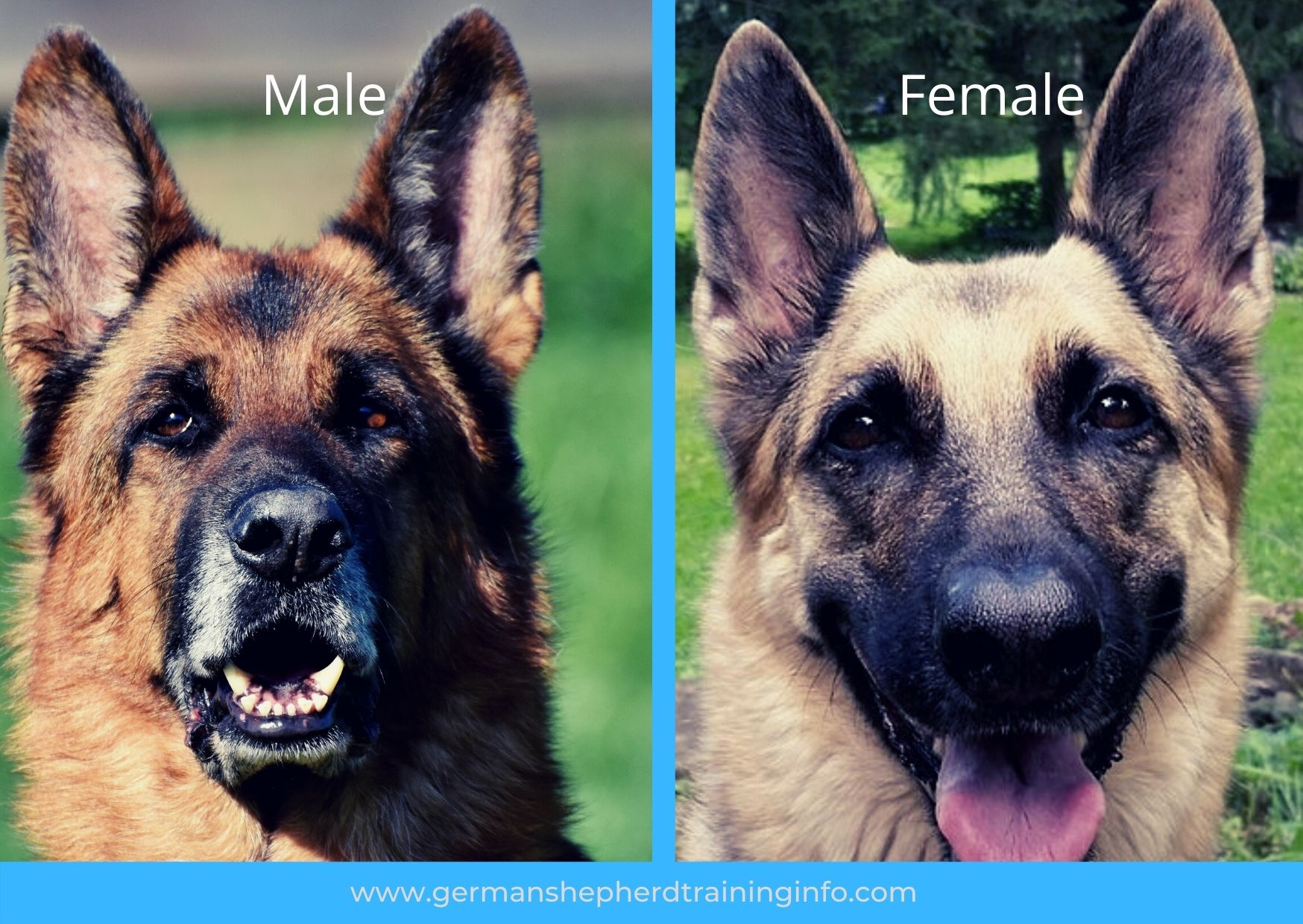 Male vs Female German Shepherd: size, temperament,coat, aggressiveness, maintenance comparison