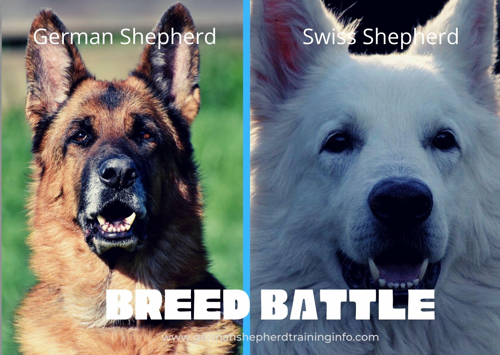 German Shepherd vs Swiss Shepherd: size, color, coat, temperament, comparison guide